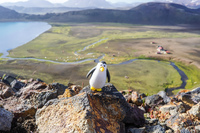 Alftavatn Lake penguin on ridge South,  Iceland, Europe