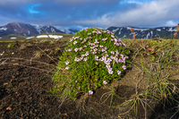 Alftavatn Lake pink flower ball South,  Iceland, Europe