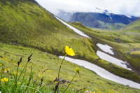 fimmvorduhals trail yellow floers South,  Iceland, Europe