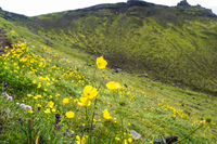 fimmvorduhals yellow flowers South,  Iceland, Europe