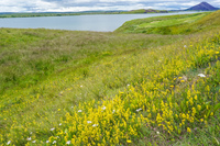 Myvatn Lake Crater yellow flowers field aukery,  Northeast,  Iceland, Europe
