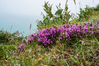 Asbyrgi purple flowers Eglisstadir,  Northeast,  Iceland, Europe