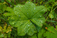 Asbyrgi dew on leaves Eglisstadir,  Northeast,  Iceland, Europe