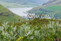 Seydisfjordur city behind green plants Akureyri,  East,  Iceland, Europe