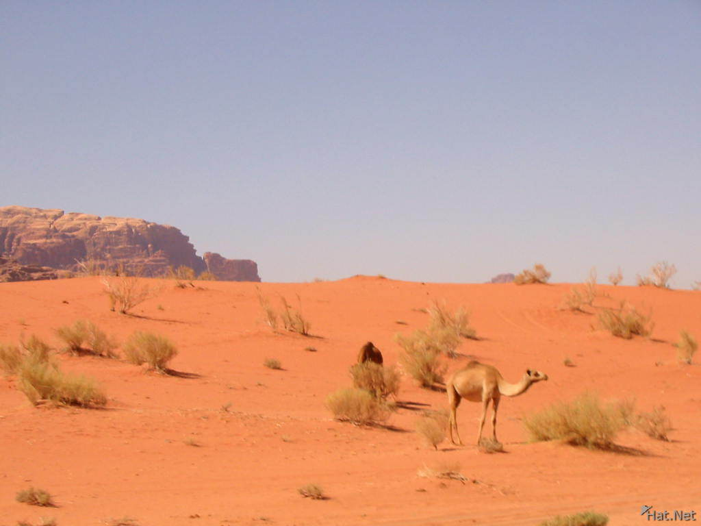 two wild camels