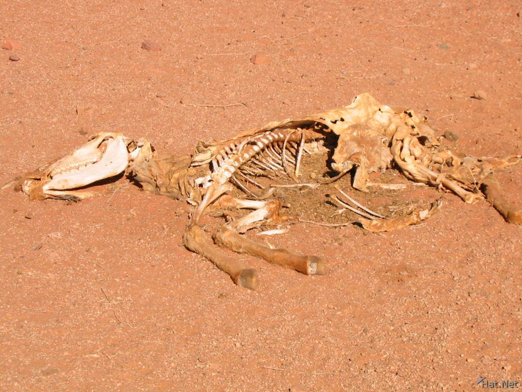 dead animal in the desert