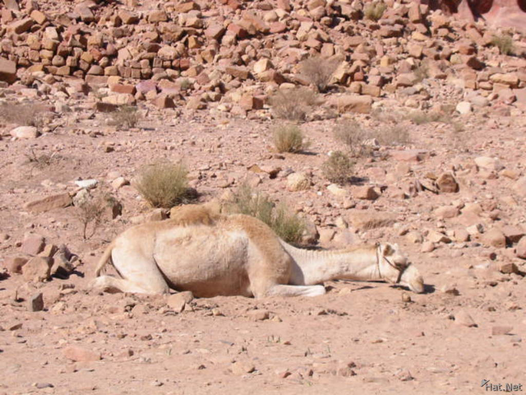 sleeping camel