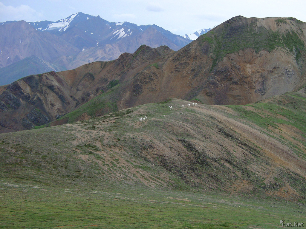 army of dall sheep