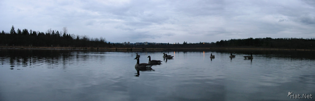 para burnaby lake ducks