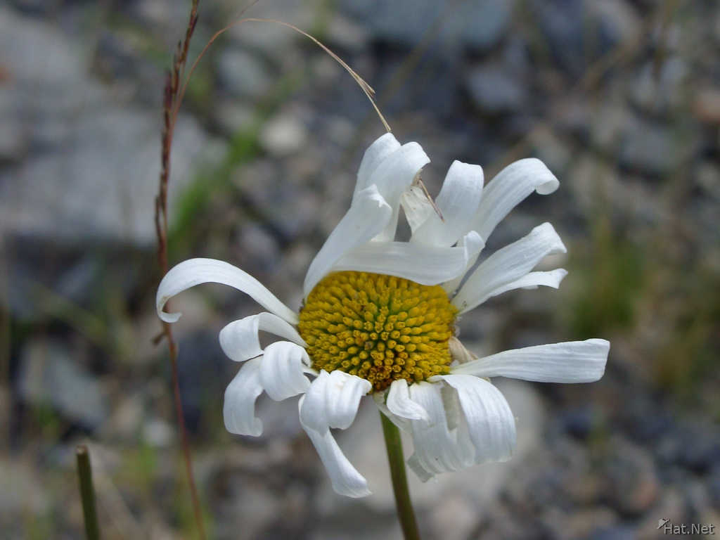 old white flower