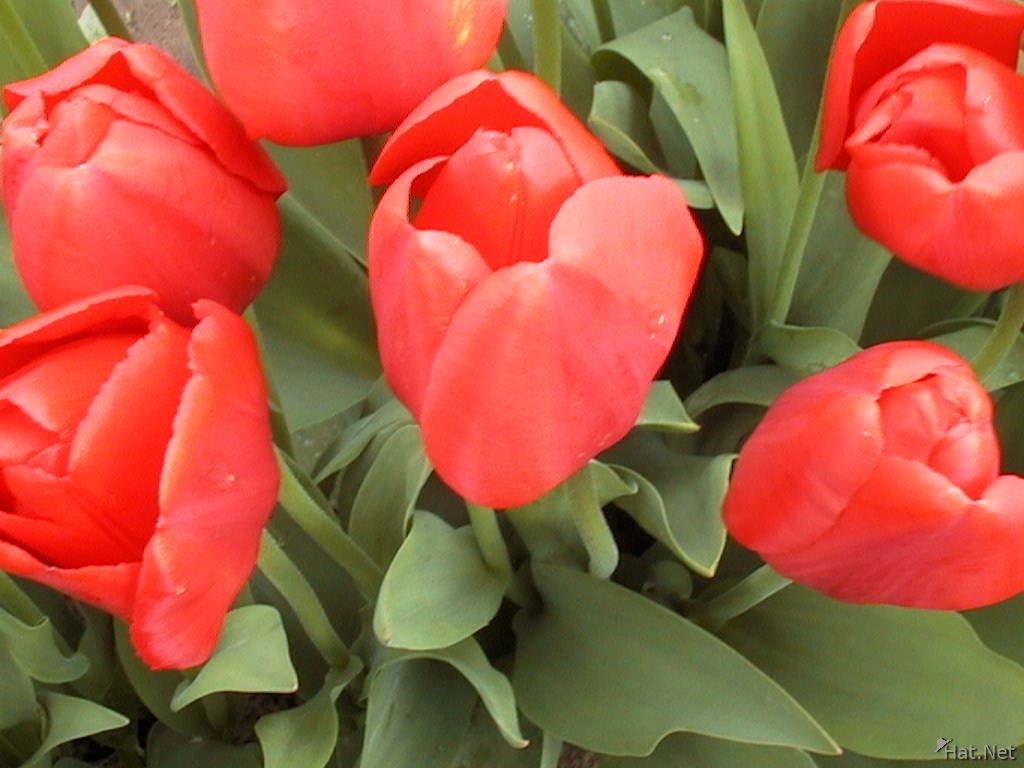 red red tulip