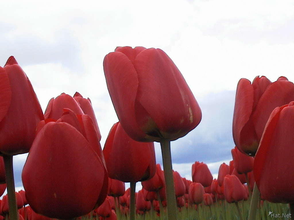 many red tulips