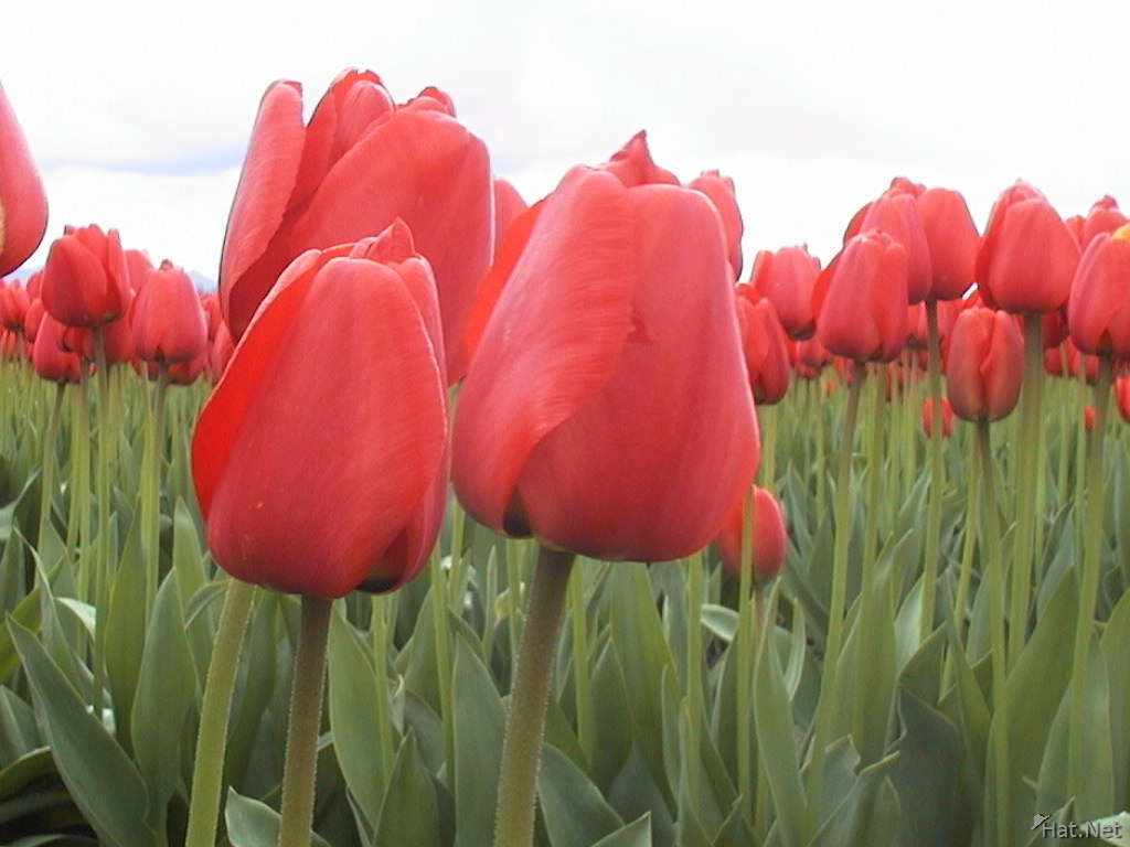 some more red tulips