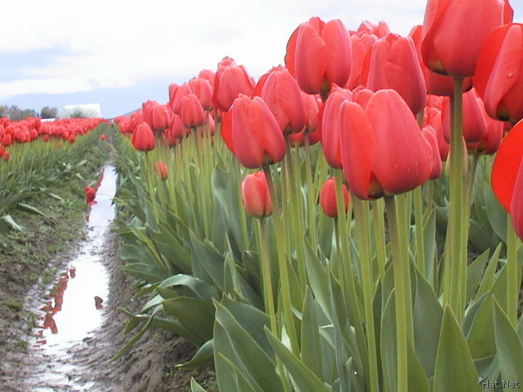 a rank of red tulips