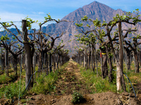 vineyard of cafayate Cafayate, Jujuy and Salta Provinces, Argentina, South America