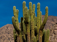 cactus in cafayate Cafayate, Jujuy and Salta Provinces, Argentina, South America