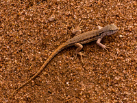 lizard Cafayate, Jujuy and Salta Provinces, Argentina, South America