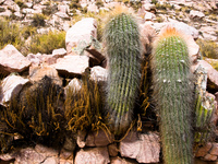 dual cactus Humahuaca, Jujuy and Salta Provinces, Argentina, South America