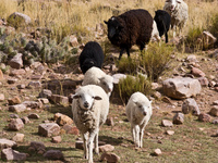 mother and baby sheep Humahuaca, Jujuy and Salta Provinces, Argentina, South America