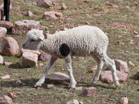 marry has a little lamb Humahuaca, Jujuy and Salta Provinces, Argentina, South America