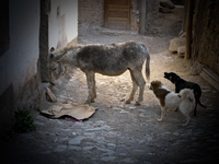 dogs attack donkey Tilcara, Iruya, Jujuy and Salta Provinces, Argentina, South America
