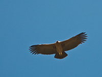 flying condor Iruya, Humahuaca, Jujuy and Salta Provinces, Argentina, South America