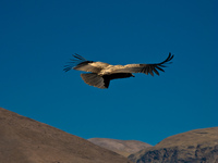 view--condor rising with warm air Iruya, Humahuaca, Jujuy and Salta Provinces, Argentina, South America