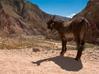 roadside donkey Iruya, Jujuy and Salta Provinces, Argentina, South America