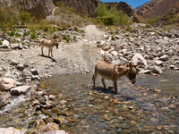 donkey crossing river Iruya, Jujuy and Salta Provinces, Argentina, South America