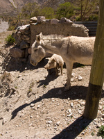 donkey and pig Iruya, Jujuy and Salta Provinces, Argentina, South America