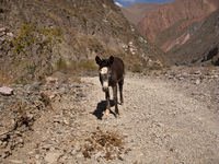 hostile donkey Iruya, Jujuy and Salta Provinces, Argentina, South America