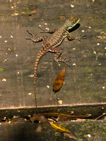 20091002114856_view--iguazu_lizard