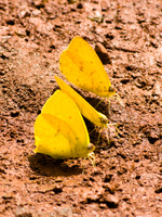 butterfly threesome Puerto Igua�u, Salta, Misiones, Salta and Jujuy Province, Argentina, South America