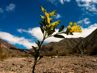 view--lone flower Purmamarca, Northern Salta Provinces, Argentina, South America