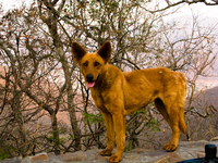 salta dog Cafayate, Salta, Jujuy and Salta Provinces, Argentina, South America