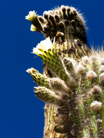 view--cactus flowers Purmamarca, Tilcara, Jujuy and Salta Provinces, Argentina, South America