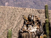 view--cactus bird Purmamarca, Tilcara, Jujuy and Salta Provinces, Argentina, South America