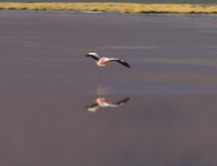 flying flamingo in laguna colorada Laguna Colorado, Potosi Department, Bolivia, South America