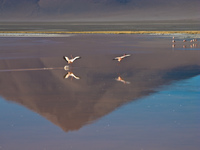 flying flamingos in laguna colorada Laguna Colorado, Potosi Department, Bolivia, South America