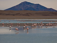 flamingos laguna honda Laguna Colorado, Potosi Department, Bolivia, South America