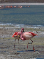 kissing flamingo Laguna Colorado, Potosi Department, Bolivia, South America