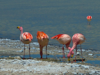 quartet flamingos Laguna Colorado, Potosi Department, Bolivia, South America