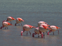 flamingos feeding Laguna Colorado, Potosi Department, Bolivia, South America