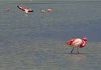 goodbye flamingo Laguna Colorado, Potosi Department, Bolivia, South America