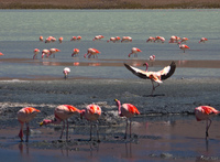 view--dance of flamingo Laguna Colorado, Potosi Department, Bolivia, South America