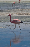 solo flamingo Laguna Colorado, Potosi Department, Bolivia, South America