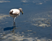 view--child flamingo Laguna Colorado, Potosi Department, Bolivia, South America