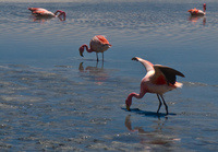 more flamingos Laguna Colorado, Potosi Department, Bolivia, South America