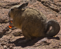 long tail vizcacha rabbits eating carrots Laguna Colorado, Potosi Department, Bolivia, South America