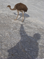 emu and my shadow Salar de Uyuni, Potosi Department, Bolivia, South America